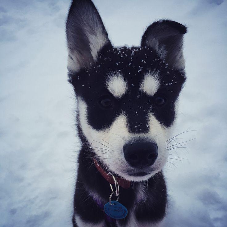Bris er en Sibirien Husky valp på 11 uker. #SibirienHusky #valp #puppi #polarhund
