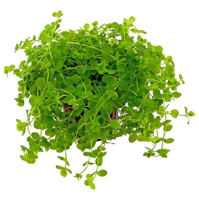 Micranthemum umbrosum is a delicate light green bushy stem plant with small round leaves. It is most attractive when cultivated as a dense bush in the fore- and middle ground. A...