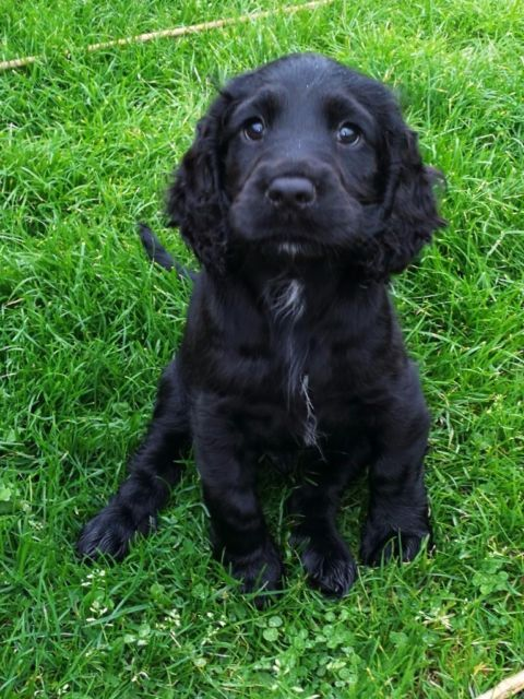 Lovely 12 weeks sprocker puppy for sale, last one boy from litter of 9. He is microchiped and full v