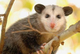Opossum-by-Mike-Keeling