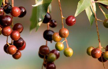 El capulín (del náhuatl capolcuahuitl) es un árbol originario de Canadá cuyo cultivo se extiende hasta Guatemala. El fruto es carnoso, pequeño, negro rojizo en la madurez, de sabor agridulce y astringente, con una sola semilla envuelta en cubierta dura. Esta especie es de la misma familia de la cereza, tiene gran presencia en nuestra …