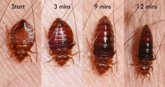 Bed Bugs .  Early detection of Bed Bugs can be very difficult. Bed Bugs hide very well and in early infestations eggs and young Bed Bugs are difficult to locate.