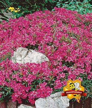 Roter Teppich-Phlox