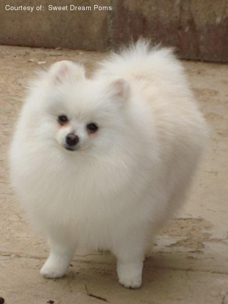Bear Face Teacup Pomeranian #Puppies available for sale in Eatontown Price: $ 250.00