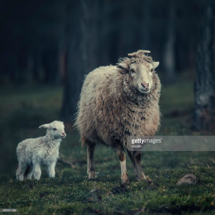 Mother sheep and her lamb in a meadow in the Altai forest. #OksanaAriskina #Sheep #Nature  #gettyimages #gettyimagescreative  #getty #gettycreative #gettyimagesnew #Altay #Altai