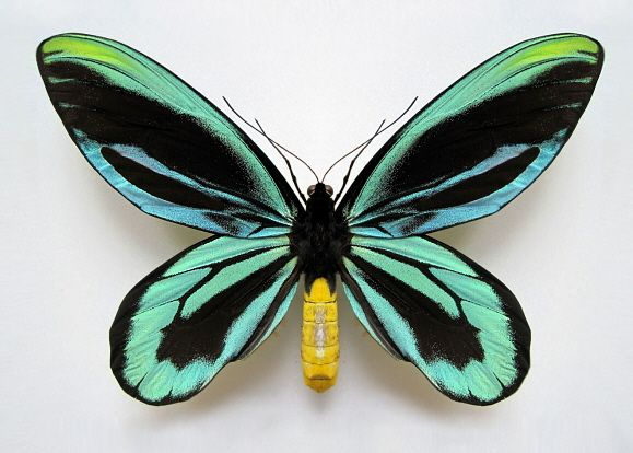 Butterflies of New Guinea - Ornithoptera tithonus - Queen Alexandra's Birdwing