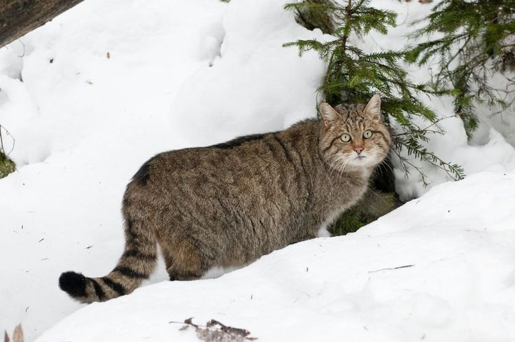 Can  #Scotland 's feisty  #wildCats be brought back from the brink? This fierce  #nativeCat may disappear within the next few years. #SavetheScottishWildcat  #feline #felines #cat #cats #Scottishwildcat#Scottishwildcats  #BritishIsles  #UK  #Europeanwildcat #Europeanwildcats   #GreatBritain  #Endangered  #Mammal #mammals  #nature #endangeredspecies #felineImmunodeficiency #WestHighlands #WildcatHaven #feralcats #feralcat #domesticcats #domesticcat