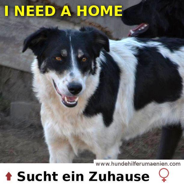 Gadget sucht ein Zuhause ⭐ ⭐ #Animalsnewlife #cutenessoverload #instagoods #chill #Rescue #streetdogs #dogsofinstgram #instagrampuppies #instagramdogs #instadogs #dogs #dogoftheday #doglovers #animalrescue #needhome #photooftheday #adoptdontshop #adoption #hundesucheneinzuhause #MeinHund  https://hundehilferumaenien.com/gadget/