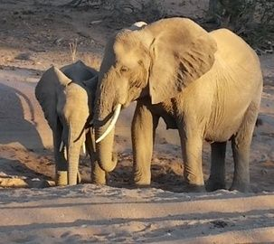 Always a thrill to see desert-adapted elephant in Damaraland #Safari #Africa #Namibia #WildernessSafaris