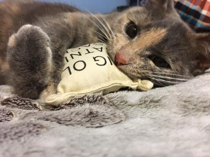 Took my son to the humane society for his birthday. He adopted this beauty. Say hello to Olivia! by Jetteva cats kitten catsonweb cute adorable funny sleepy animals nature kitty cutie ca
