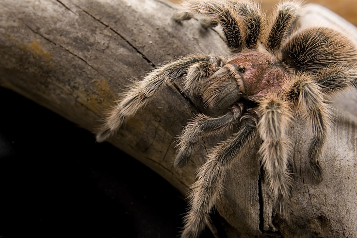 the characteristics of the chilean rose tarantula a tarantula species The chilean rose hair tarantula is about 15 inches in length with a leg span up to 575 inches the female of the species is the larger of the two sexes.