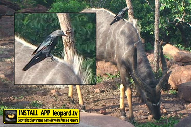 Do you know what type of bird is sitting on the back of this nyala? Find out! #science #leopardtv #africa