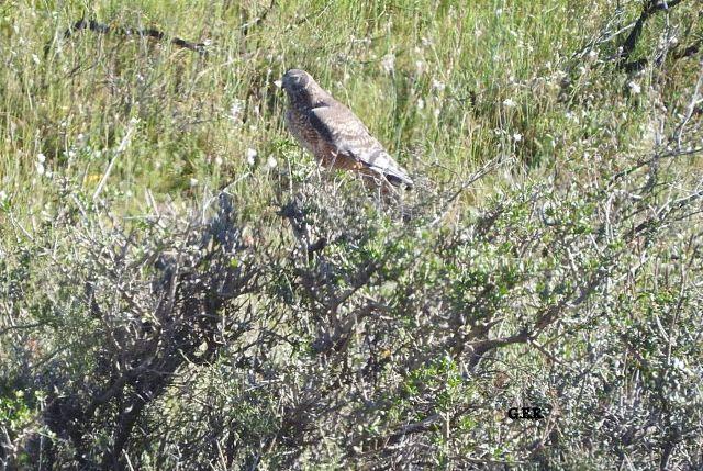 Aves del Golfo San Jorge: Nueva visita Totoral y Laguna de Rada Tilly 22-10-2016