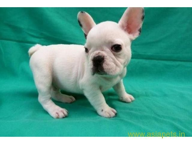 French Bulldog Puppy For Sale In Kathmandu Best Price In Nepal