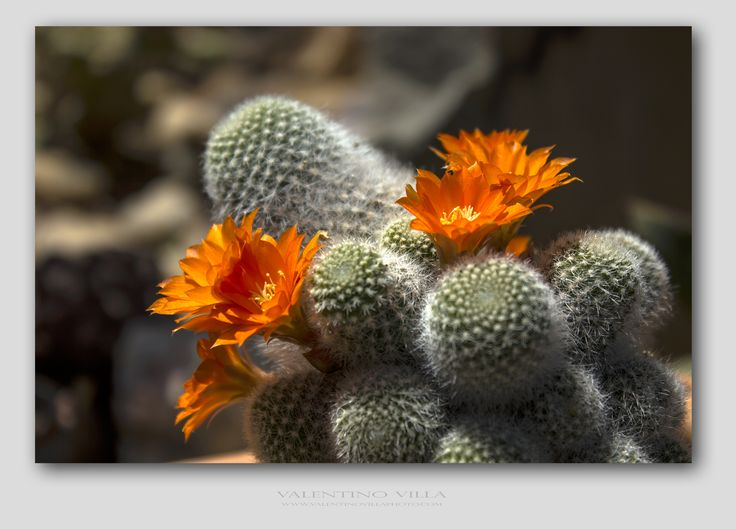 Cactus flowers #alchimissa #valentinovillaphoto #garden