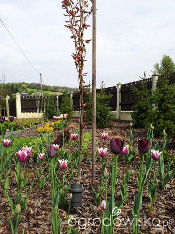 Moja codzienność - ogród Oli - strona 722 - Forum ogrodnicze - Ogrodowisko