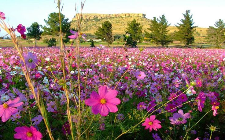 Cosmos flowers in the freestate South Africa