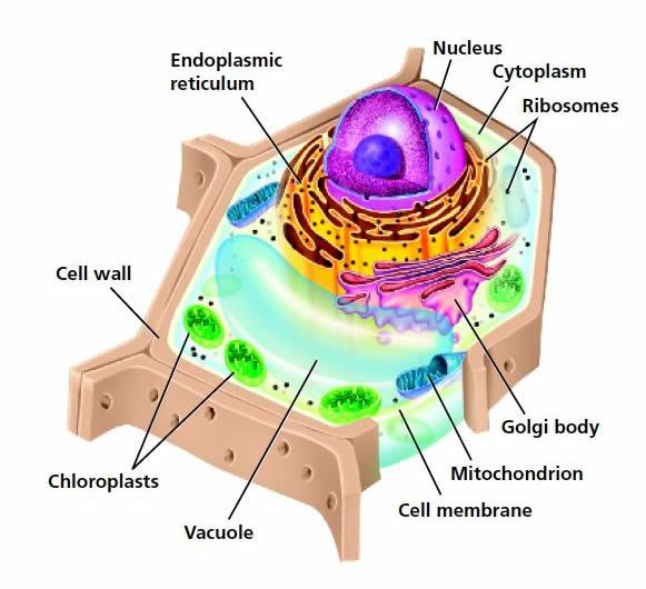 Animal Cell Coloring Page Answers : Best 25 picture of plant cell ideas on pinterest structure