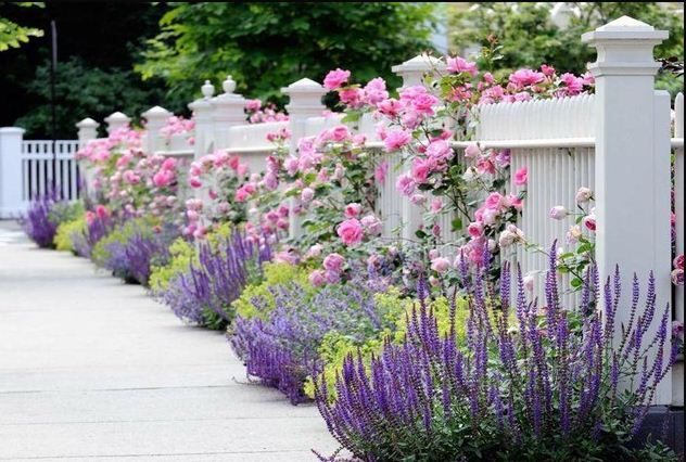 White picket fence with climbing roses and lavender. Not sure if that is a lime green variety of Lambs Ears in between the lavenders or not, but the color scheme is lovely.