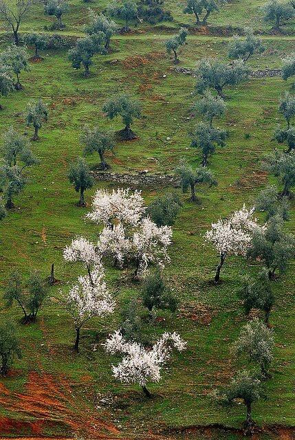 Olivos y almendros