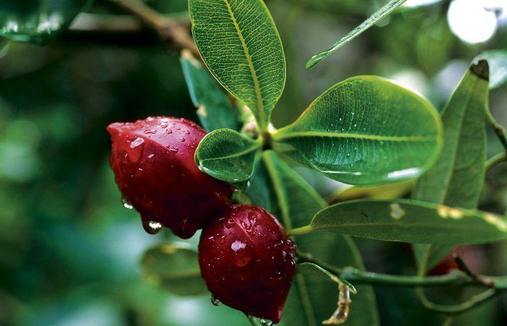 Explore NSW's Howe Island, RoyalAuto Nov 2106. #lordhowe #ordhoweisland #nsw #berrywoodberries #berries #redberries