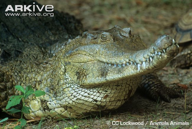 African Crocodile | African slender-snouted crocodile videos, photos and facts - Mecistops ...