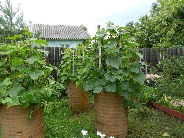 Выращиваем огурцы в бочках | Дачный сад и огород