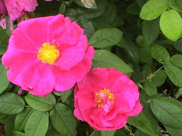 Takalo-Roppolan puutarha- ja mansikkatila: RUUSUT- rose Valamo