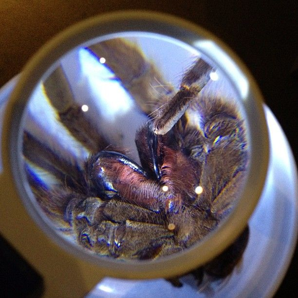 Trapdoor Spiders Bite: 17 Best Images About Spiders Alive! On Pinterest