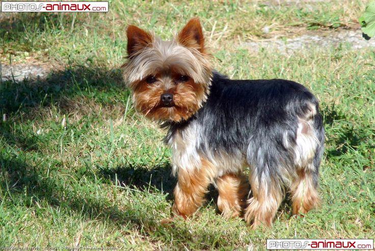 yorkshire terrier images   Fond d'écran gratuit de chiens Yorkshire terrier                                                                                                                                                                                 Plus