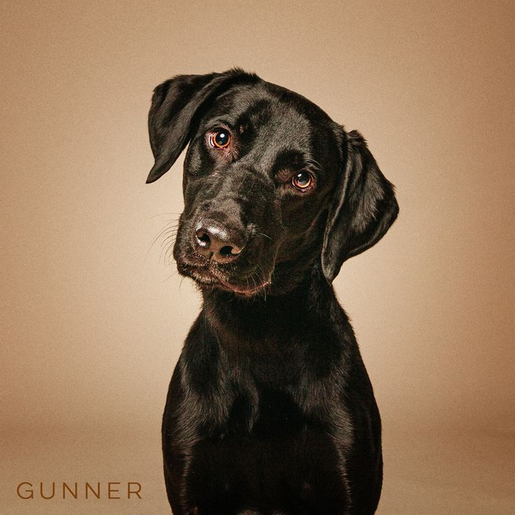 "11/16/16-HOUSTON - ""Young, Spunky, All American. Adopt Today!"" Gunner is available for adoption through Westbury CARE- Compassionate Animal Rescue Efforts."