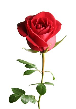 25 Best Ideas About Red Roses On Pinterest Roses