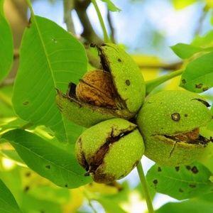 Řez ovocných stromů ořešák