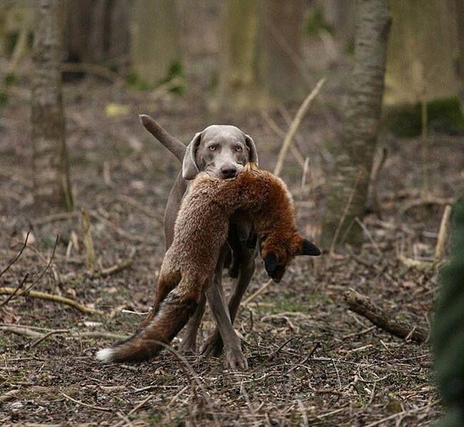 Weimaraner. The Fox is dead.