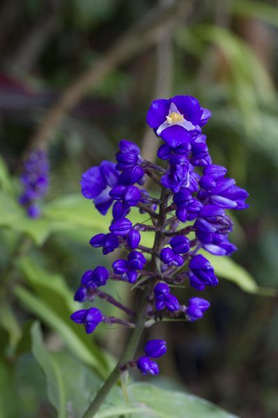 Propagating Blue Ginger: Tips On Growing Blue Ginger Plants - Blue ginger plants, with their dainty blue flowers, make delightful houseplants. They are easy to care for, too. Find out more about these lovely plants in this article. Click here for additional information.