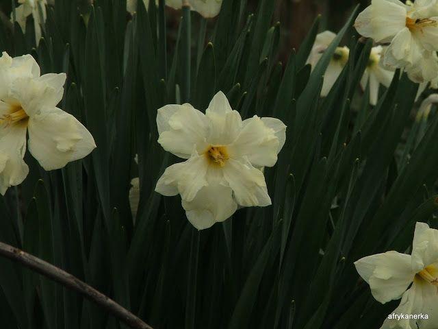 Narcissus  - Wiosna - Picasa Web Albums
