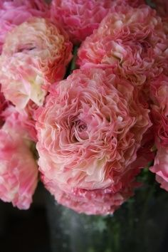 Ranunculus 'Vigor Pink' -they are also beautiful dried