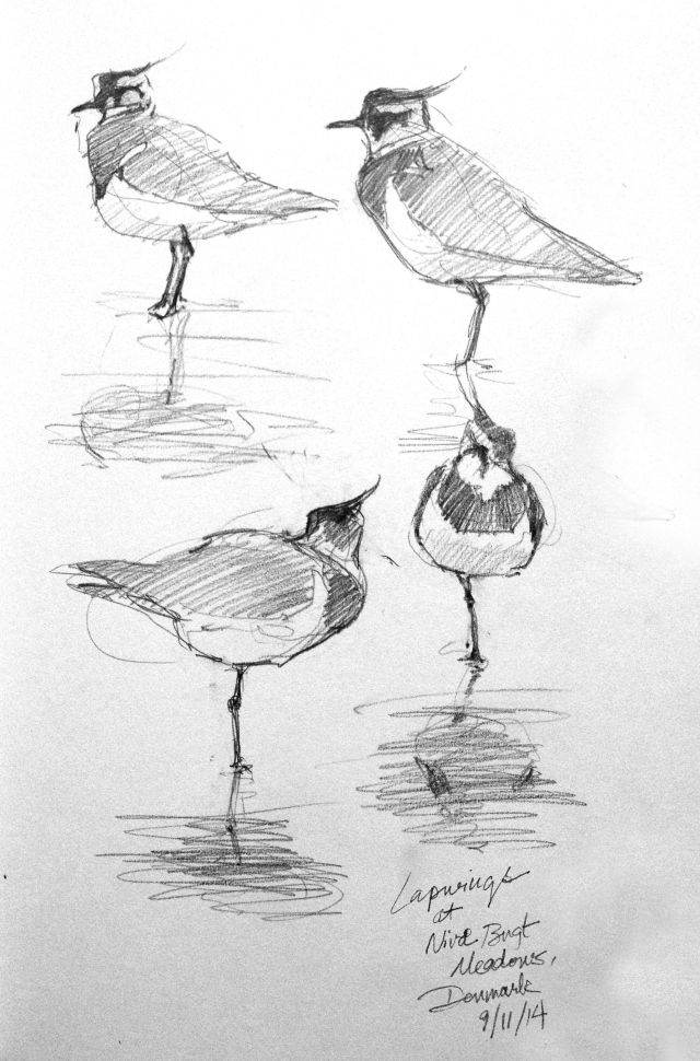 Sketch of the Day: Lapwings at Nivå, Denmark