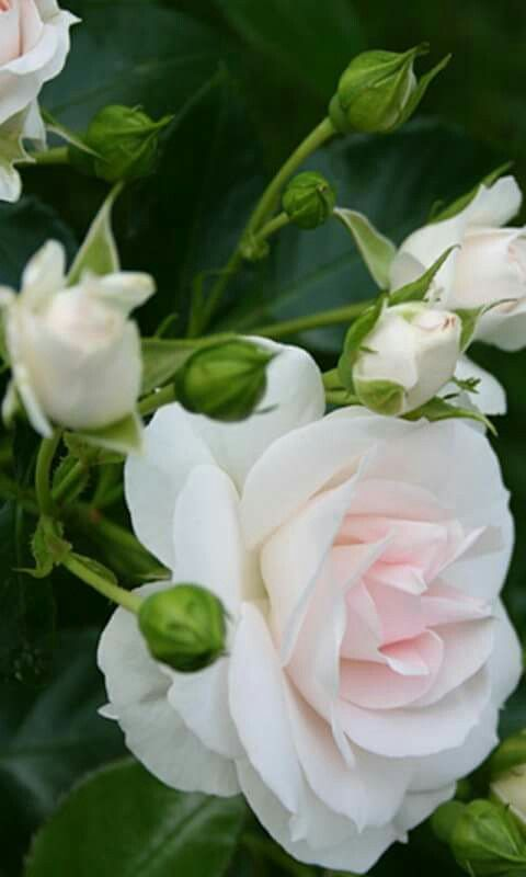#roses #flower #love Aline ♥