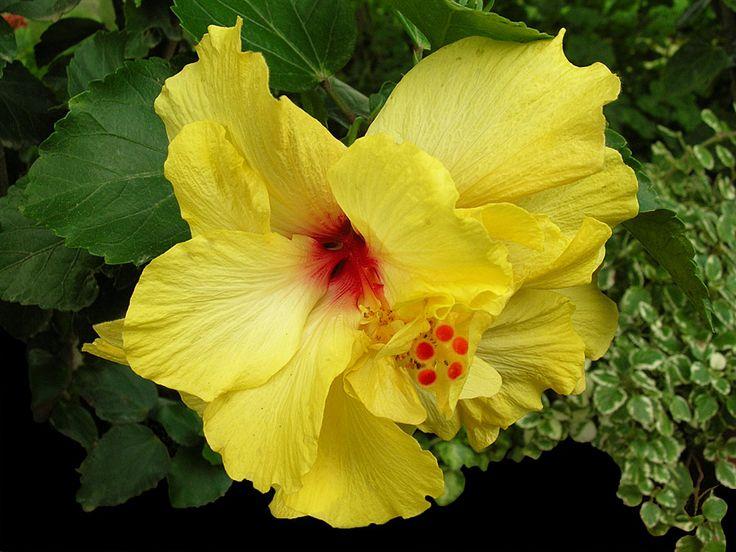 Yellow Hibiscus (Photographic Print - Unframed)