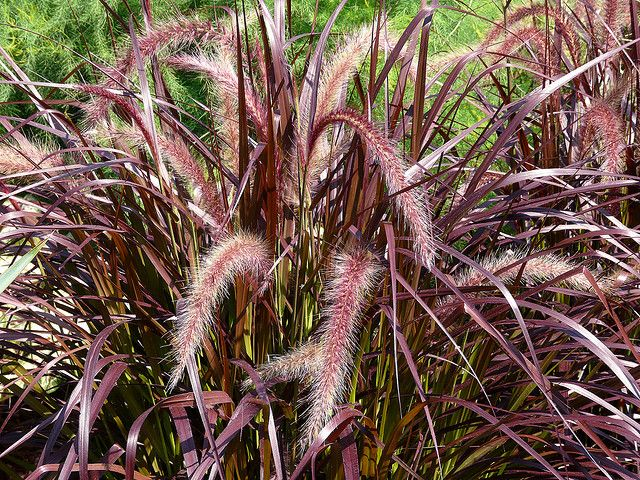 Pennisetum setaceum 'Rubrum' Accent, specimen, or border plant.  Ornamental grass. Full sun. July-October. Annual.