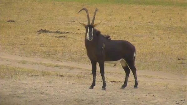 Sable Antelope at Nkorho - May 18 2016 - 1:15pm | Africam