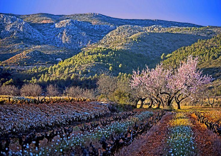Amandelbloesem en bloeiende veldbloemen tussen de wijnstokken in de vallei tussen Jalon (Xalo) en Gata de Gorgos aan de Costa Blanca.