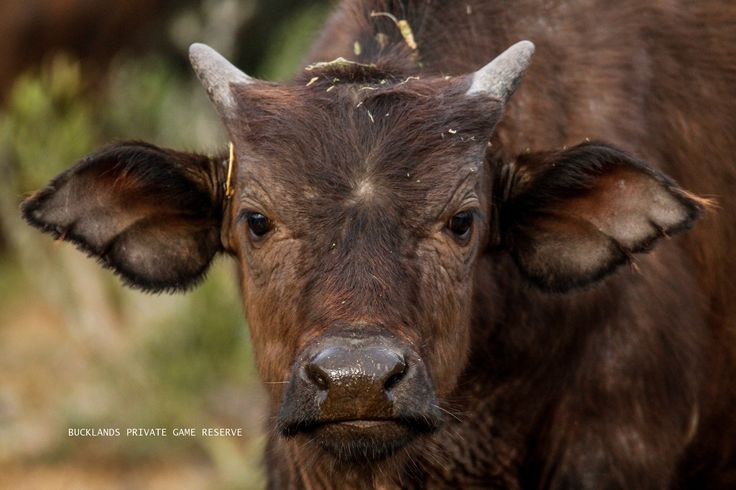 Buffalo calf #photography #capebuffalo #buffalobreeding #buffalocalf #gamedrives #bucklandsprivategamereserve