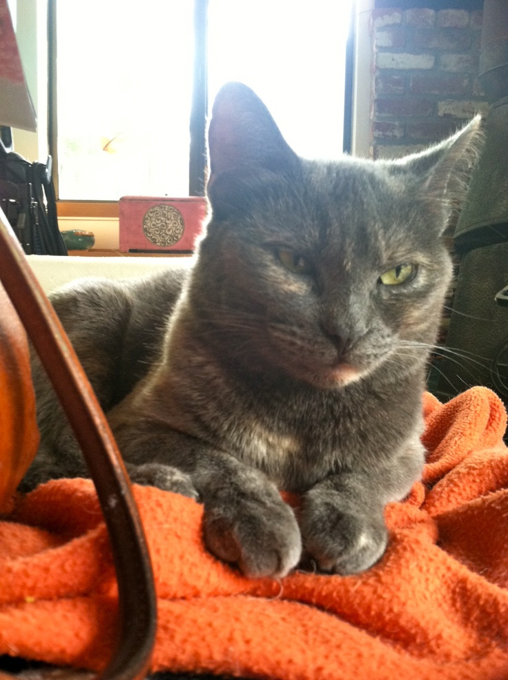 Nutmeg: I will purr the minute you enter the room and accept donations of as much petting and chin scratching as possible. I enjoy being held, sitting on your shoulder, and rolling around at your feet. I also like chasing any toy with ribbons.