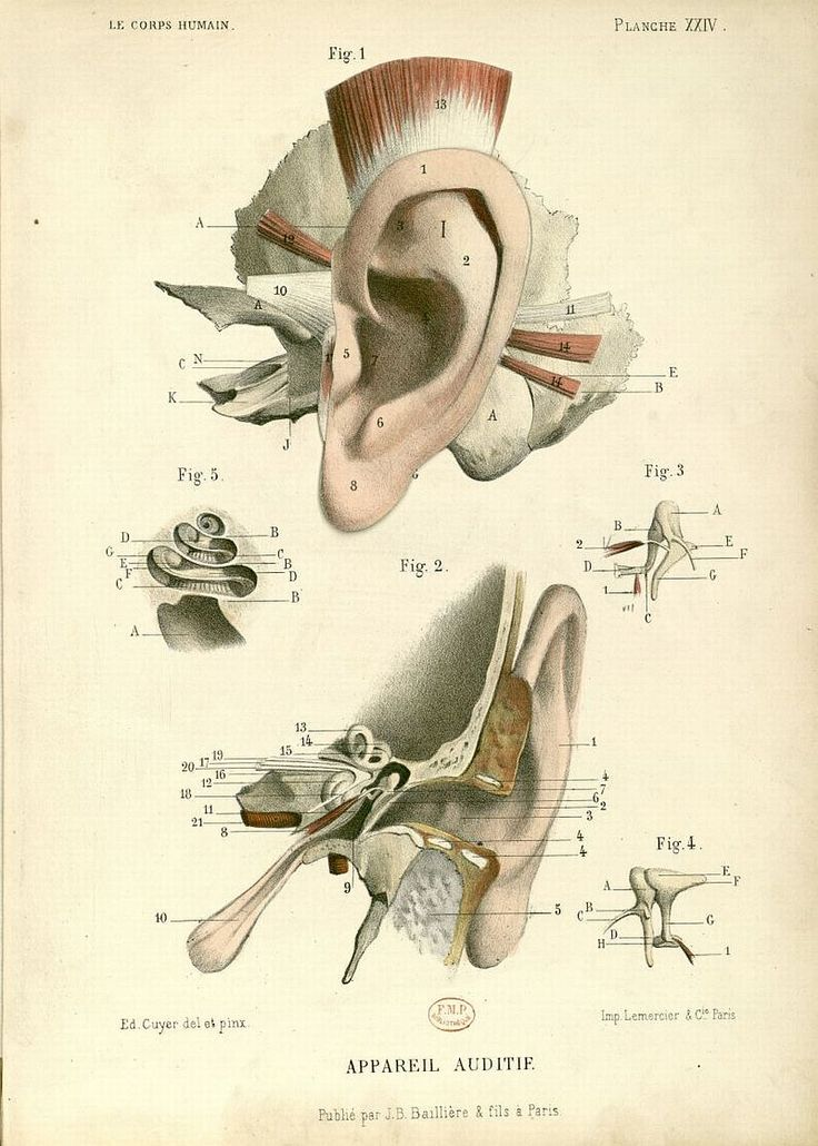 I love these old diagrams it fascinates me that many dr's also were artists they meticulously drew every detail.  Medical - Anatomy - Ear - French