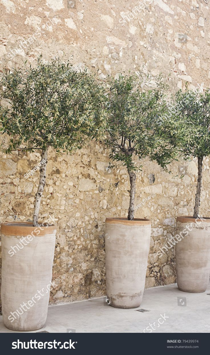 Flowering Olive Trees In Terracotta Pots In A Row On A Cobblestone