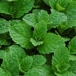 'Kentucky Colonel' Mint is by far the most delicious culinary herb, an improved spearmint for Mint Juleps and Mojitos! 'Kentucky Colonel Min...