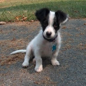 Little jack russell mix pup