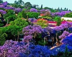 Jacaranda trees in Johannesburg.